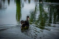 Harmonie et grâce en nature Cygne noir le lac tranquille Photographie stock