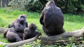 Harmonious gorilla family stock footage