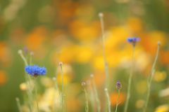 Harmonious small blue flower set against soft fiery yellow and orange background royalty free stock photography