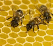 Bees build honeycombs. Here you can see work of a bee to create a honeycomb wall stock photos