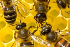 One bee transmits another wax plate, of which honeycombs are made royalty free stock photography