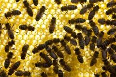 Harmoniskt arbete av laget av bin som skapar en honungskaka arkivbild