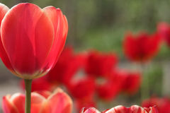 Harmonous tulip. Slender tulip on a background of red flowers Stock Photos