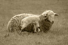 Harmony. A sheep and its baby lamb sharing an intimate moment royalty free stock photo