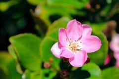 Harmony Manzanita, flor, planta Imágenes de archivo libres de regalías