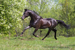 Harmony of motion of a black horse galloping Stock Photos
