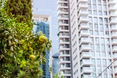 Harmony of nature and modern urban landscape. Grapefruit tree front of modern glass apartment buildings in a green residential are. A in the city. Selective stock photography