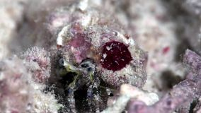 Harmsi coralino de Paguritta del cangrejo de ermitaño en el coral del Mar Rojo Sudán Shaab Rumi almacen de metraje de vídeo