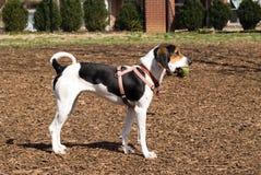 Harness del entrenamiento del perrito que desgasta Fotos de archivo libres de regalías