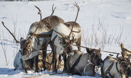 Harness  of domesticated reindeers Stock Image