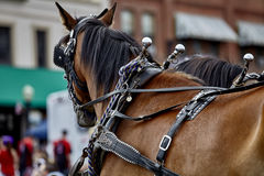 Harness Horses in Parade Royalty Free Stock Image