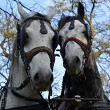Harness horses ready for parade, a pair - horse and mare royalty free stock photography