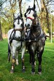 Harness pair mare and horse, ready to pull a carriage stock photo