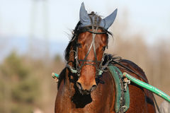 Harness racing Stock Photos