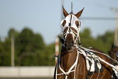 Harness Racing horse. Brown harness racing horse portrait Royalty Free Stock Photography