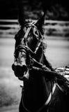Harness Racing Standardbred Royalty Free Stock Photos