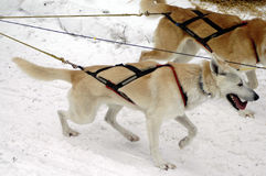 Harnessed. Two harnessed sled dogs pulling a sled. (Sled isn't pictured stock images