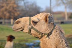 Harnessed Camel Head Stock Photo