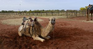 Harnessed Camel in Outback Australia. Stock Photos