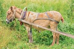 Harnessed  donkey Stock Photos