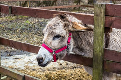 Harnessed donkey portrait Stock Images