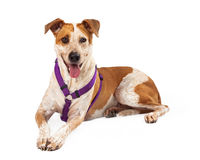 Harnessed Gold and White Dog Sitting with Tongue Out Stock Images