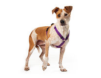 Harnessed Gold and White Dog Standing Stock Photography