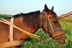 Harnessed horse Stock Photography