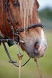 The harnessed horse. Muzzle of the horse harnessed in a cart Stock Image