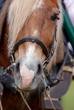 The harnessed horse. Muzzle of the horse harnessed in a cart Royalty Free Stock Photos