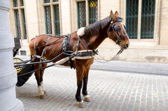 Harnessed Horse in Brussels Stock Image