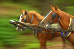 Harnessed horse couple Royalty Free Stock Photos
