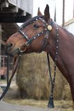 Harnessed horse. horse harness. leather and metal products, handmade. Harnessed horse. horse harness. leather and metal products, handmade stock image