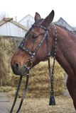 Harnessed horse. horse harness. leather and metal products, handmade. Harnessed horse. horse harness. leather and metal products, handmade stock photography