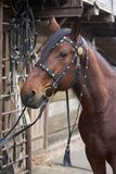 Harnessed horse. horse harness. leather and metal products, handmade. Harnessed horse. horse harness. leather and metal products, handmade royalty free stock images