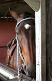 Harnessed horse on the ranch. Royalty Free Stock Photos