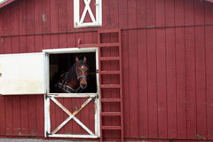 Harnessed horse standing at barn doorway Royalty Free Stock Image