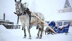 Harnessed horse in winter warm Christmas day stock video