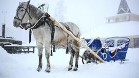 Harnessed horse in winter warm Christmas day stock footage