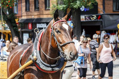 Harnessed Horse, Zakopane Royalty Free Stock Photo
