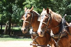 Harnessed horses Royalty Free Stock Photography