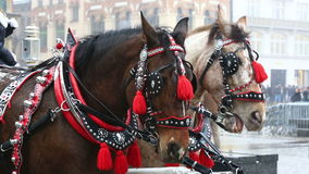 Harnessed horses during Christmas fair stock video