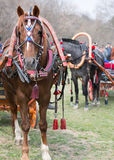 Harnessed horses Royalty Free Stock Image