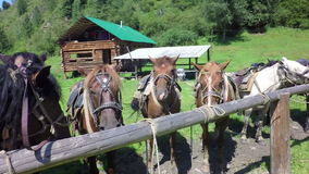 Harnessed horses on leash slow motion stock footage video stock video