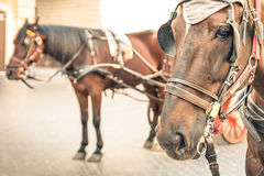 Harnessed Horses in urban Context Stock Image