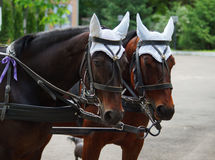 Harnessed horses Stock Photo