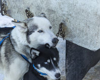 Harnessed Husky Dogs Royalty Free Stock Photography