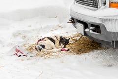 Harnessed Sled Dog Sleeps Near Truck Stock Photography