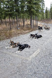 Harnessed sled dogs Stock Images