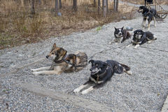 Harnessed sled dogs Stock Photo